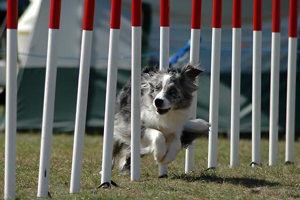 Dog weaving through agility poles